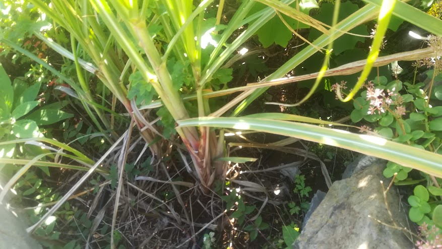 Sugar cane. Even we planted some in our garden, just for fun.