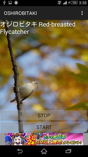 鳥鳴き声オシロビタキ