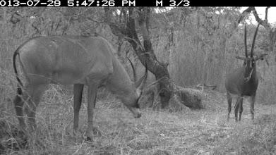 Photo: New intruder -young roan male approaching a GS female Novo intruso - jovem macho palanca vermelha aproximando-se duma fêmea de PNG