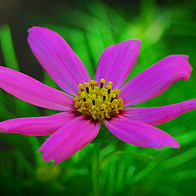 Cosmos II by Daniel Sapag - Flowers Flowers in the Wild