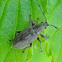 Phyllobius weevil