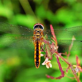 Potamarcha congener by Fahmi Setyawan - Animals Insects & Spiders