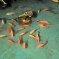 沙里仙虹鱒養殖場