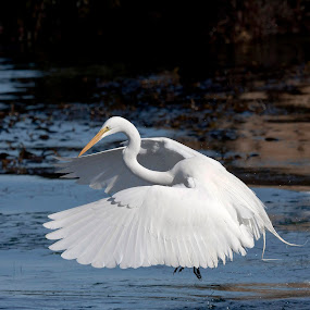 Coming in for a Landing by Manuel Balesteri - Animals Birds ( shore, blue, fly, pwcmovinganimals, white, beak, sea, ocean, bitd, feathres, egret )