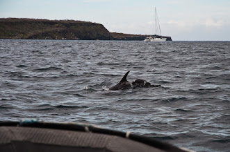 Photo: Bottle-nosed dolphins accompany us as we head toward the island of North Seymour, where we take our first hike