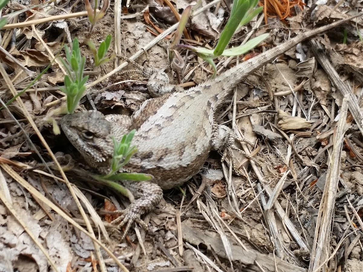 Western fence lizard(female)