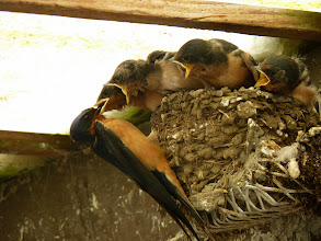 Photo: Barn Swallows use this nest in a wire cradle year after year.