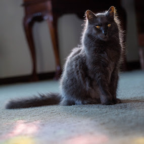 Ripley The King by Matt LaCorte - Animals - Cats Portraits