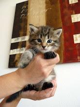 Photo: Quenzo - black tabby Un leon en miniatura... guapísimo!