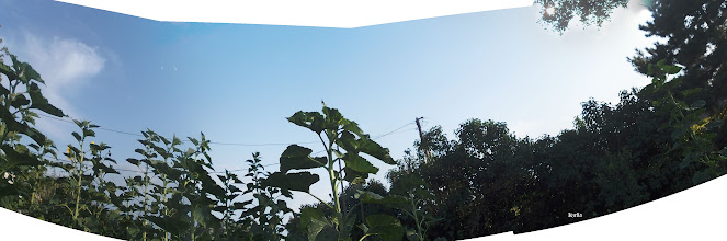 Photo: Napraforgók az ég felé