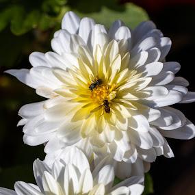 Pollinating the chrysanthemum by Bert Templeton - Flowers Flowers in the Wild ( macro, flowers, bee, mum, chrysanthemums, yellow, winter, texas, flower, white, chrysanthemum, micro, garden, autumn, mums, bees,  )