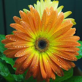 Sunrise by Gillian James - Flowers Single Flower ( petals, gerbera daisy, waterdrops, gerbera, flower )