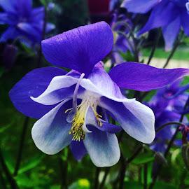 Columbine #clarendon #columbineflowers #purplecolimbine #purpleblooms #delicates #perennials by Debbie Squier-Bernst - Uncategorized All Uncategorized (  )