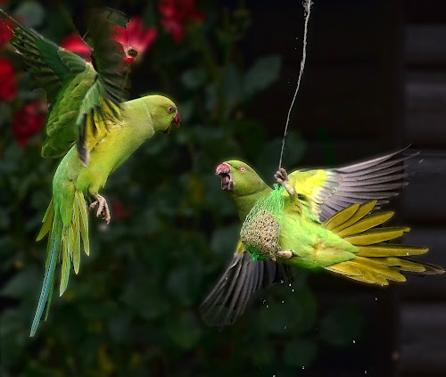 that bag is mine ! by Ghislain Vancampenhoudt - Animals Birds ( pouch, parrots, food, morning, hungry, quarrel )