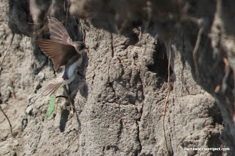 Photo: A sand martin at its nesting hole