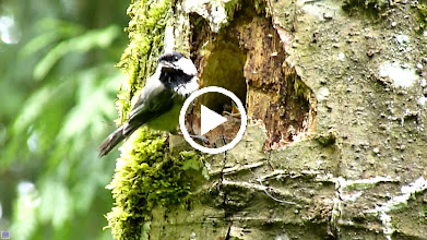 Video: Black-capped Chickadee feeding its young. Note how one of the chicks sticks its bottom up so that the parent can carry away its poop.