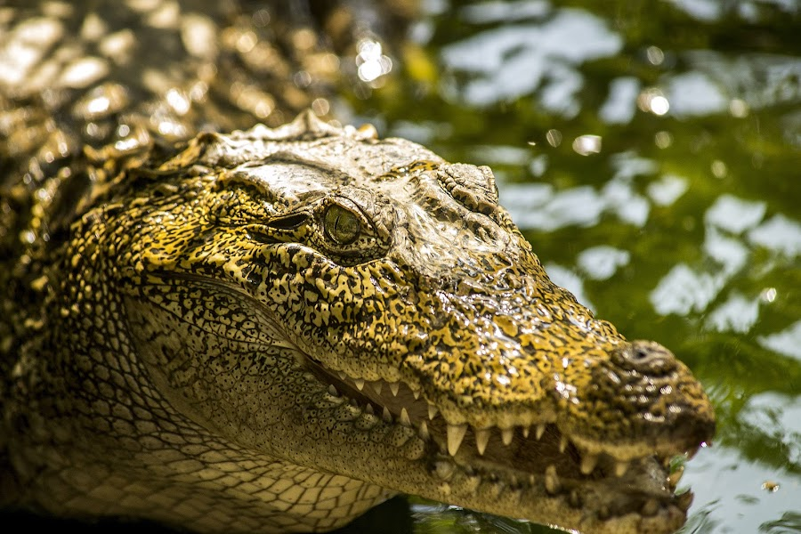 A baby Crocodile by Binoy Bhushan Mishra - Animals Reptiles ( crocodile, reptile )