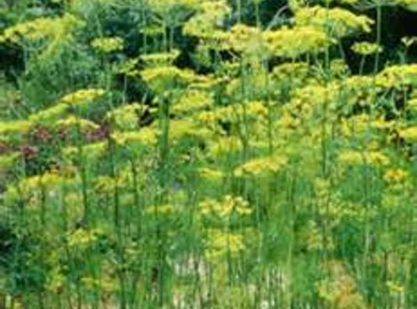 Benefits Of Dill Recipe