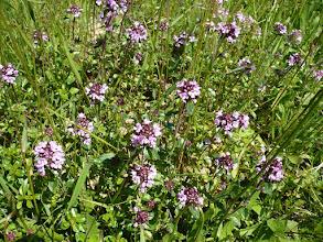 Photo: Mezei kakukkfű (Thymus serpyllum)gyógy- és füszernövény