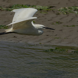 Little Egret in flight by Barry Smith - Animals Birds ( in flight, nature, animals, birds, wildlife )