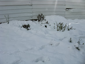 Photo: כאן קבורים תחת השלג צמחי תבלין