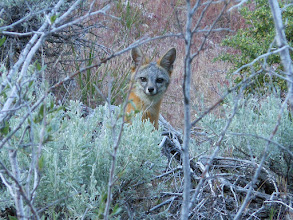 Photo: Sierra Canyon Trail/Genoa Loop/Eagle Ridge Loop-Gray Fox