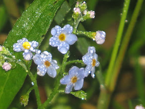 Photo: 21 Jun 13 Priorslee Lake: The drizzle adds sparkle to these forget-me-knots: the precise identification eludes me as the habitat suggests Water Forget-me-not but the absence of teeth on the calyx suggests Wood Forget-me-not (see: I have invested in a proper Flora and have become intelligently confused!) (Ed Wilson)