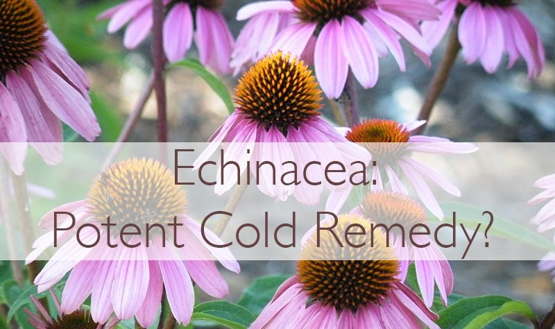 Echinacea Benefits: A Potent Natural Remedy