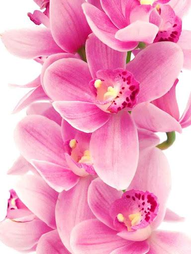 Orchids Wallpaper