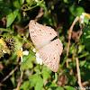 Junonia atlites 波紋眼蛺蝶