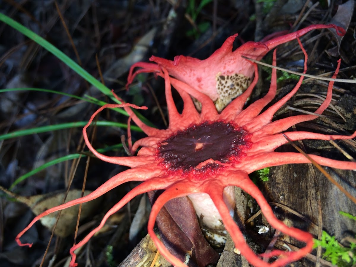 Anemone Stinkhorn