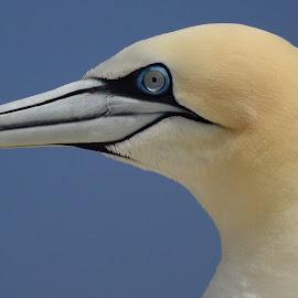 Gannet Portrait by Pat Somers - Animals Birds