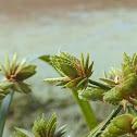 Green Flatsedge