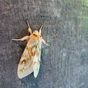 Spotted Tussock Moth