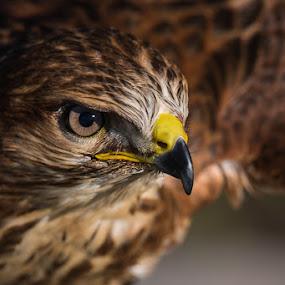 Steppe Buzzard by Martin Oosthuizen - Animals Birds ( bird, avian, buzzard, raptor, steppe )