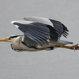 Heron by Sam Gosnay - Animals Birds ( nature, duck, bird, tall, ardeidae, heron, long, wildlife )