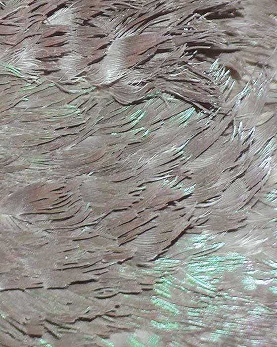 Contour feathers are missing the proper structure to keep them smooth, and the normal shiny color has been lost