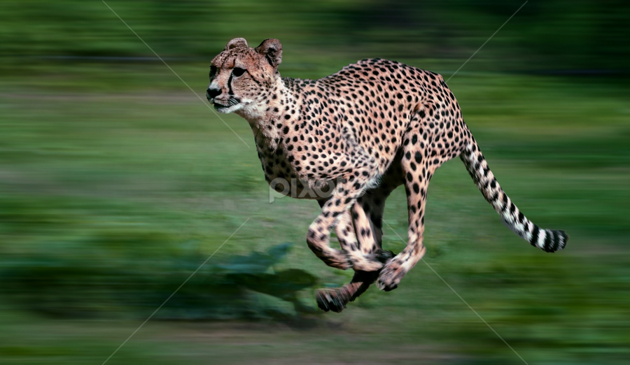 on the run by Ghislain Vancampenhoudt - Animals Lions, Tigers & Big Cats ( animal, motion, animals in motion, pwc76 )