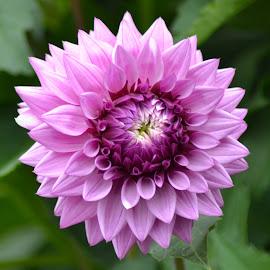 dahlia pinkish lavendar  _2870 4 x 6 by Kathy Eder - Flowers Single Flower