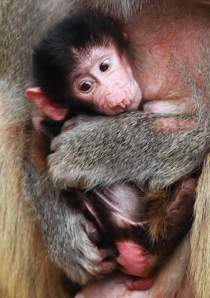 Photo: HAMBURG, GERMANY - APRIL 18:  An unnamed baby baboon is seen in his mothers arms at the Hagenbeck Zoo on April 18, 2012 in Hamburg, Germany.  (Photo by Joern Pollex/Getty Images)
