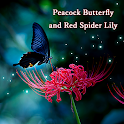 Wallpaper Peacock Butterfly and Red Spider Lily icon