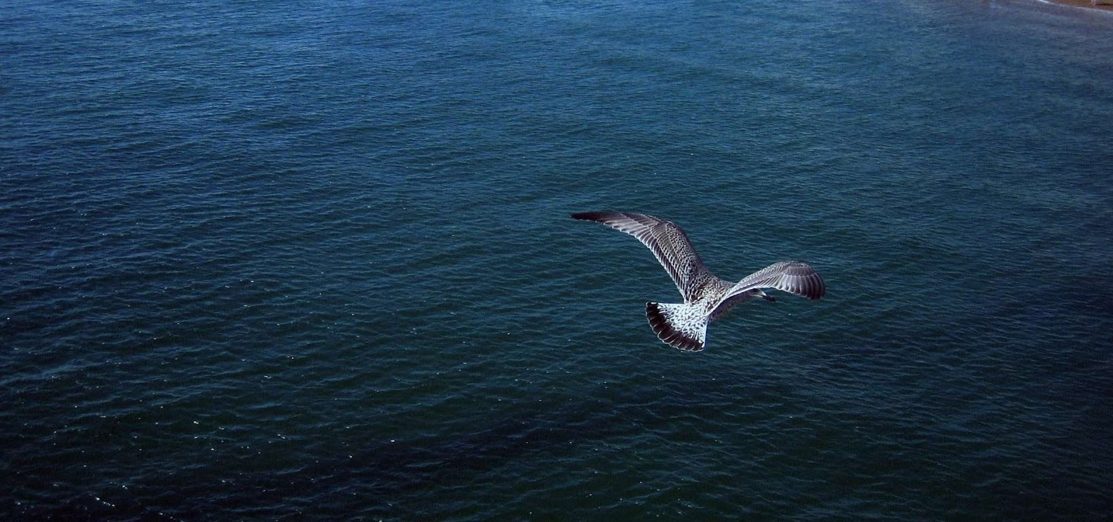 a Seagull Flying over the ocean