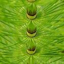 Giant horsetail