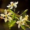 Dyer's Oleander, Dyers's oleander, Pala Indigo, Sweet indrajao