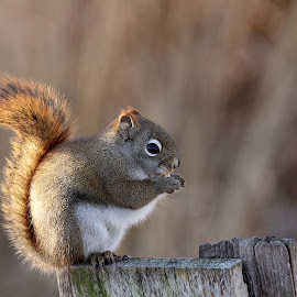 Red Squirrel by Davandra Cribbie - Animals Other Mammals ( squirrel, mammal, nature, red squirrel, animal, wildlife,  )