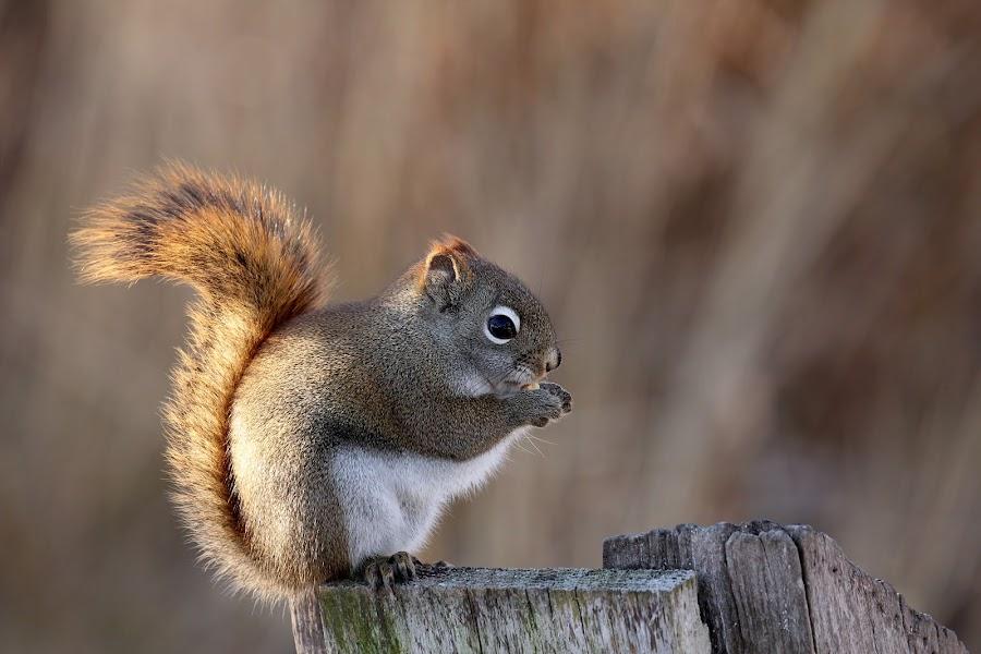 Red Squirrel by Davandra Cribbie - Animals Other Mammals ( squirrel, mammal, nature, red squirrel, animal, wildlife,  )