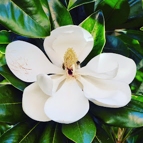 Magnolia and Bees by Kerry Demandante - Flowers Tree Blossoms ( bees, nature, leaves, magnolia, flower,  )