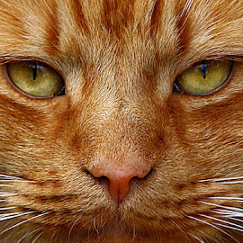 Frank's Face by Chrissie Barrow - Animals - Cats Portraits ( nose, whiskers, ginger, cat, full frame, eyes )