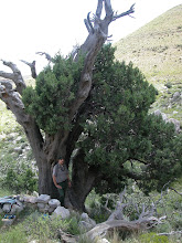 Photo: The tree sits on a hillside below an old stone wall that was once...