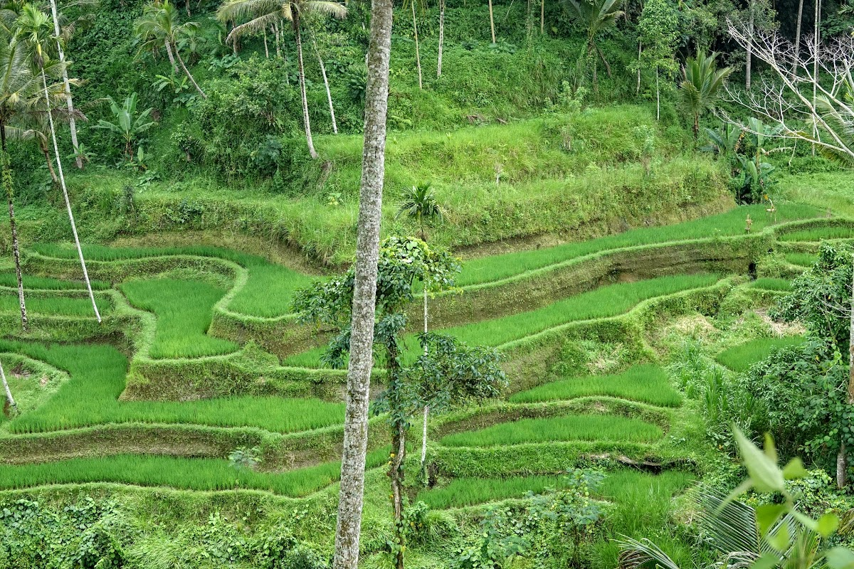 Indonesia. Bali Tegalalang Rice Terraces. Tegalalang rice fields north of Ubud